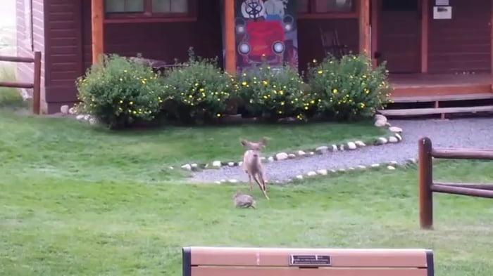 Real-life Bambi