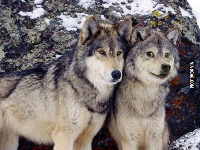 World's greatest wolf