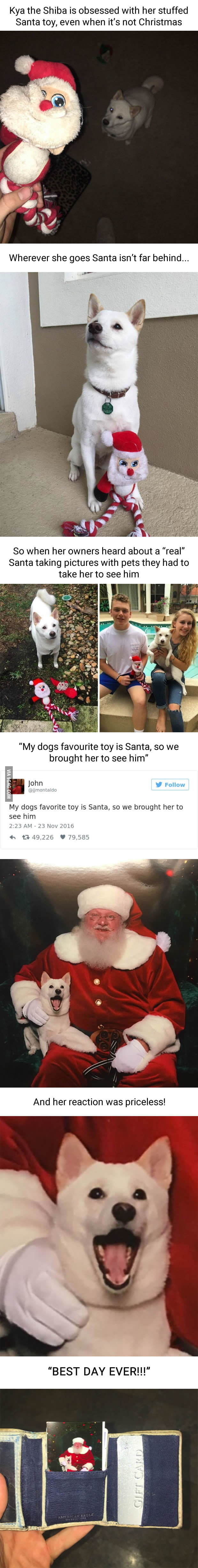 White Doge obsessed with stuffed santa finally gets to meet her idol in real life