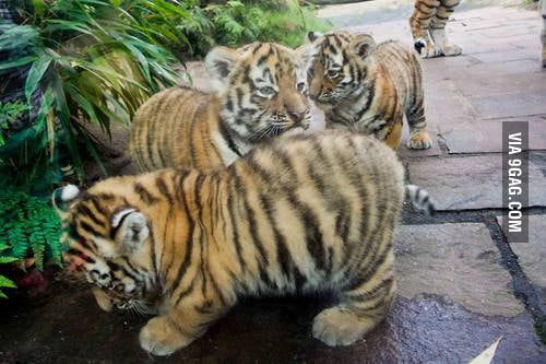 Chubby tiger cubs