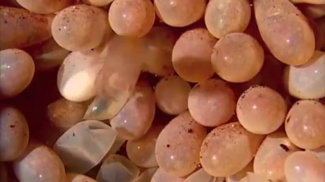 Octopus eggs hatching