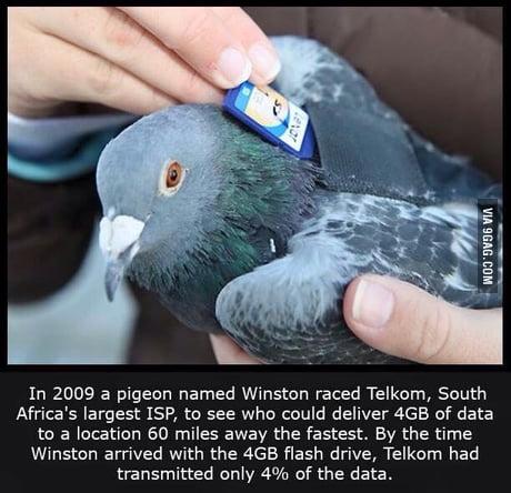 pigeonnet