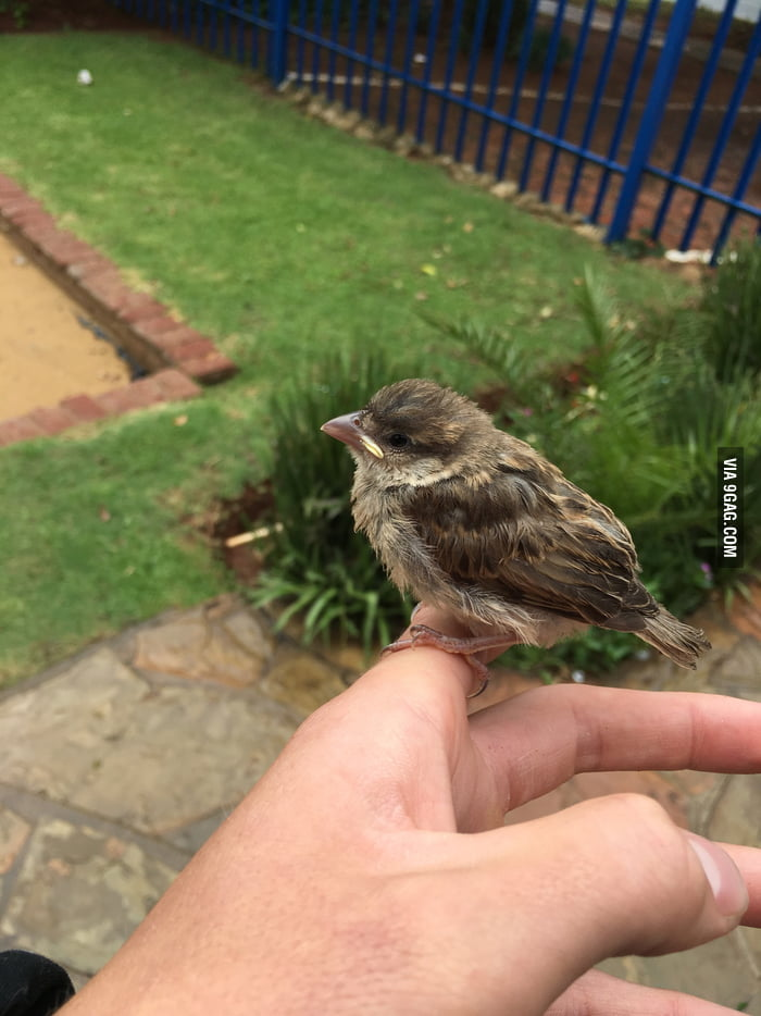 This little bird almost drowned in a puddle today. Dried and fed the little guy, later his mother heard the chirps and took him to the nest