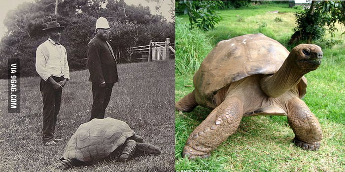 The picture on the left was taken in 1900, the picture on the right was taken 2015. It's the same turtle.