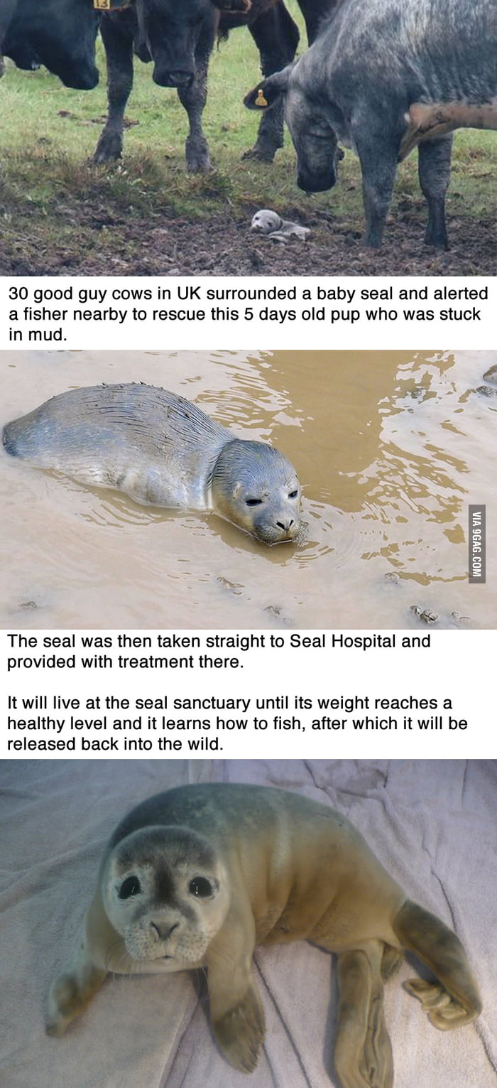 30 good guy cows just saved a baby seal