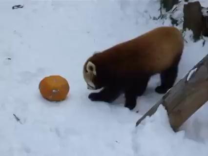 Vicious beast mauls helpless orange gourd