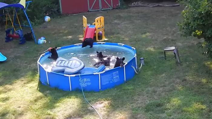 Bear family enjoying a human backyard and pool.