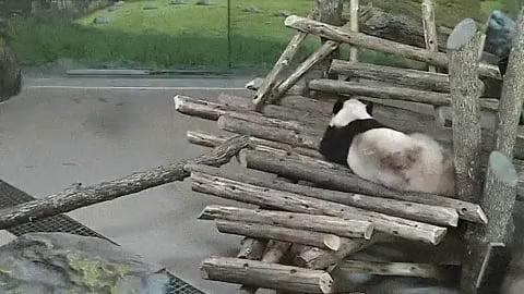 Squirrel waking up a panda