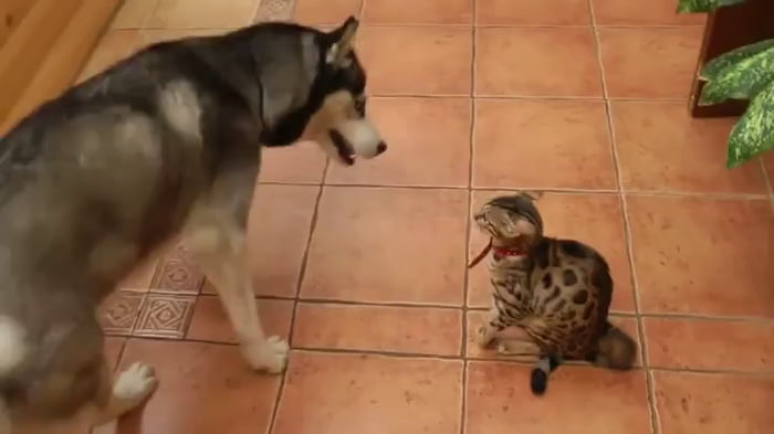 Husky attempts to bridge body-language barrier by mimicking cat's behavior