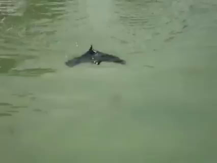 Bats can swim!