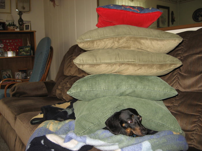 I stacked pillows on the dog while she slept...poor Snitzel was so confused when she woke.