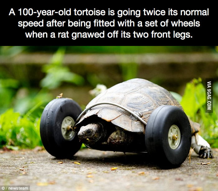 A 100-year-old tortoise is going twice its normal speed