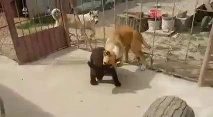 Bear with some serious wrestling skills.