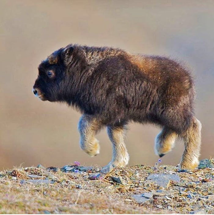 Just a baby bison