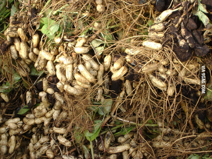 Did you know that peanuts grow underground?