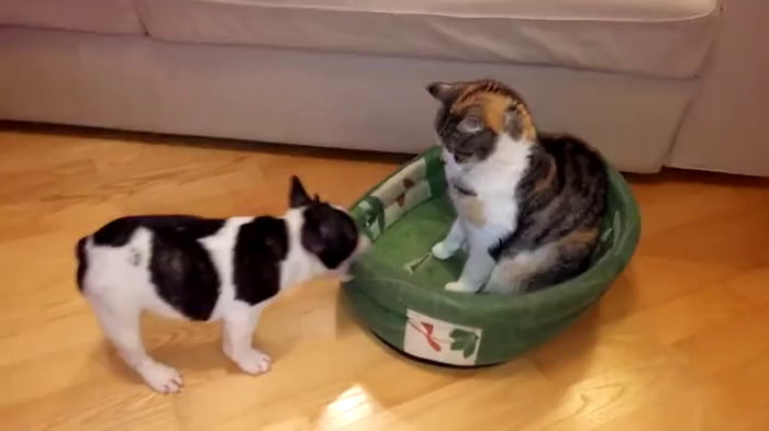 Puppy tries to reclaim bed from cat