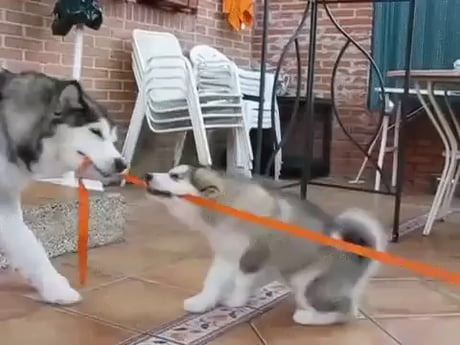 Tug of war, too cute.