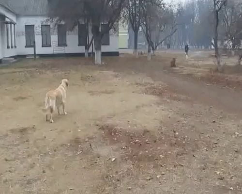 Good girl recognizing the neighbor's dog while on a walk, buddies.