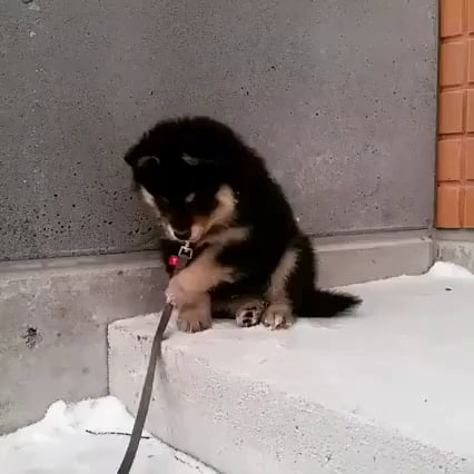 Puppy confused by a leash