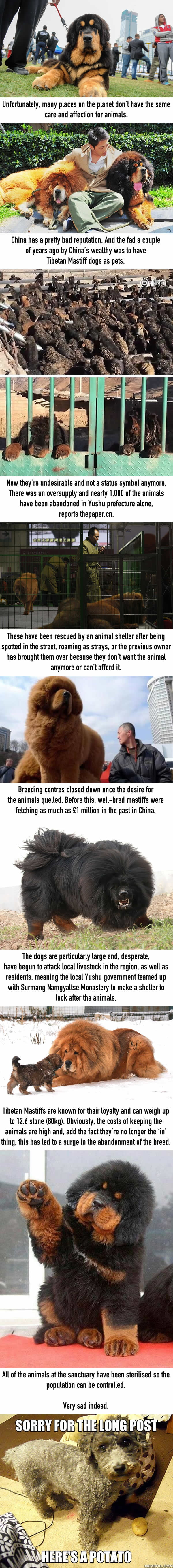 Tibetan Mastiffs Aren't Desirable In China Anymore And They're Being Abandoned