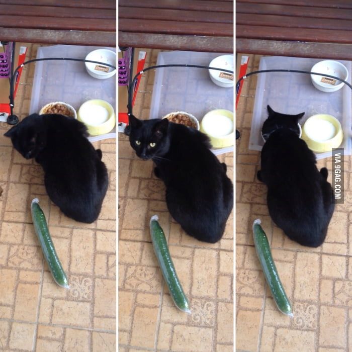 So I tried out the cucumber prank on my cat. He was not impressed