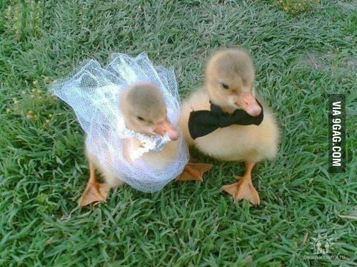 Baby Ducks Getting Marrie