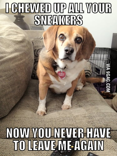 Overly attached beagle