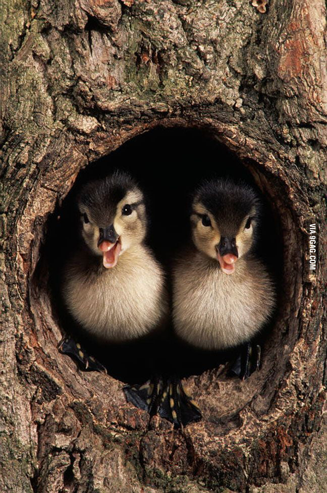 Ducklings in the wood.