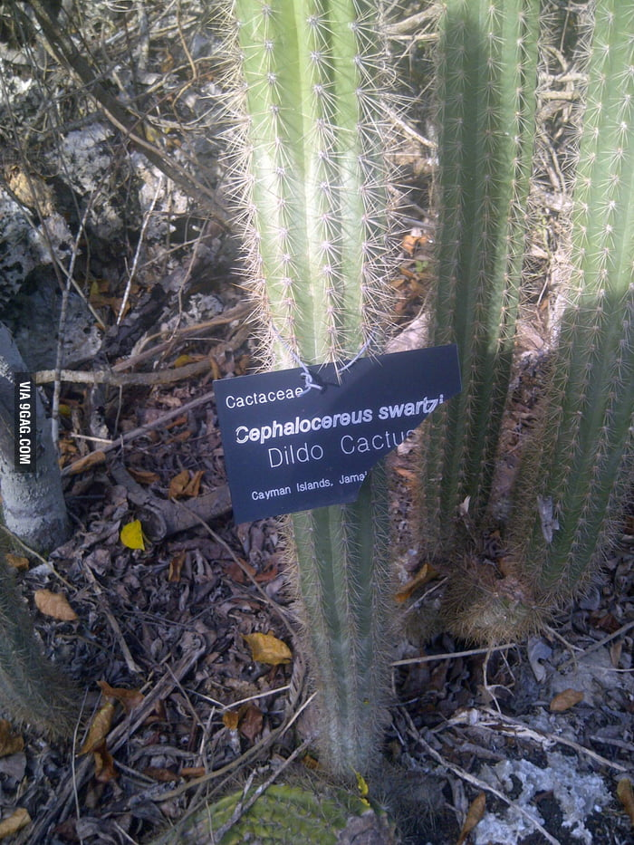 Probably the most popular cactus for women.