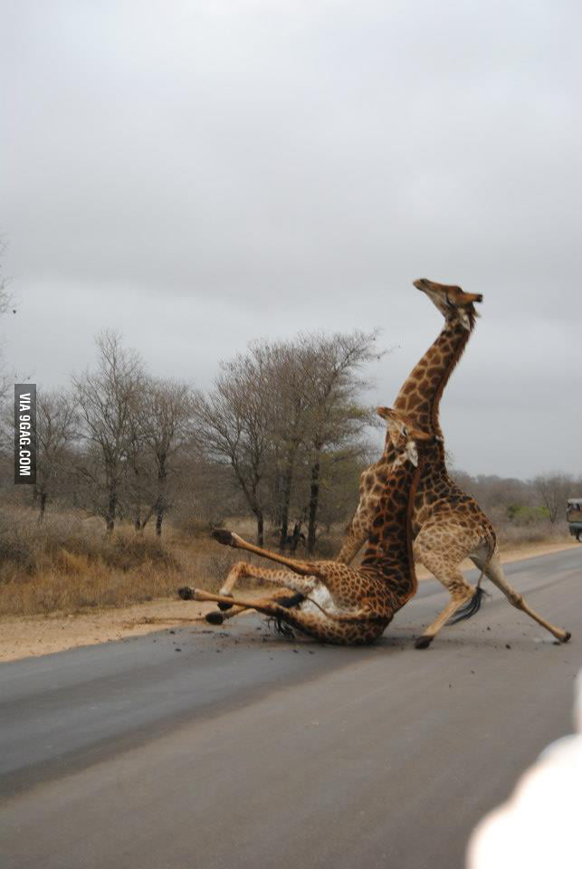 Giraffe Fight!