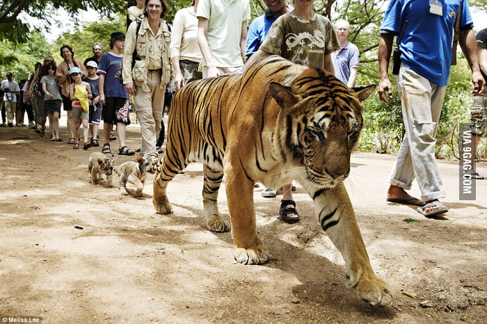 Daddy Tiger and his cubs following the crowd.