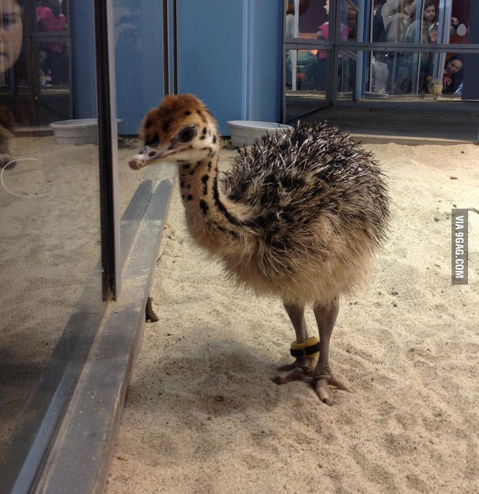 Baby ostrich is adorable!