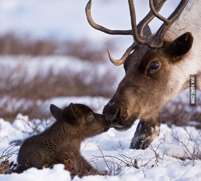 Reindeer Father and Son.