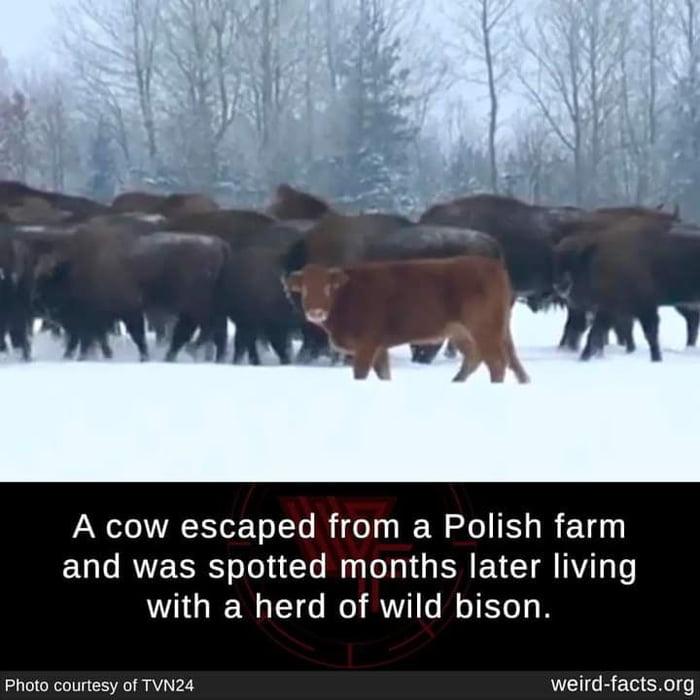I'm Bison Now