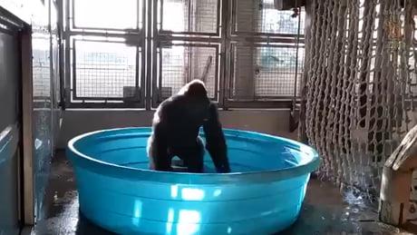 Gorilla enjoying the pool