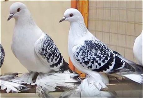Best 30+ Ice Pigeon fun on 9GAG