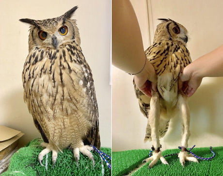 Apparently owls have a pair of slender legs underneath!
