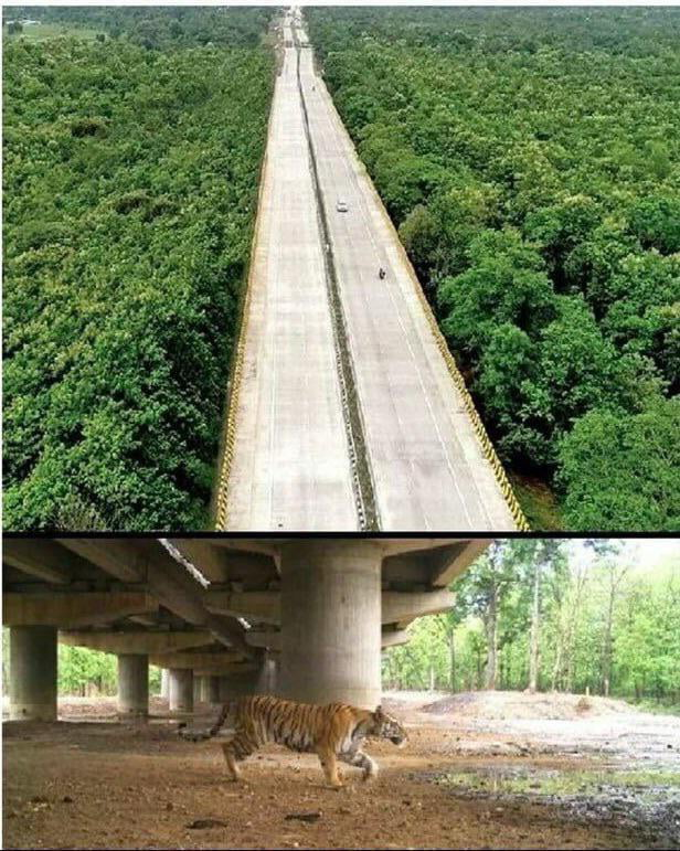 Pench tiger reserve, INDIA. A 16 km long elevated highway solely dedicated to wildlife movement underneath