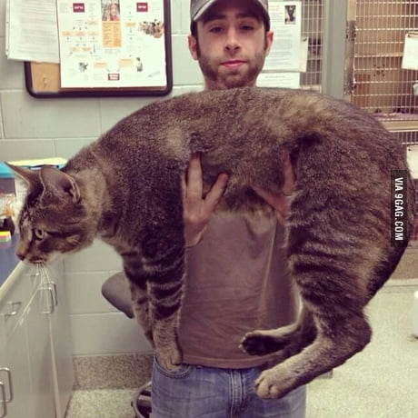 Meet Pickles, the three-foot rescue cat weighing 21 pounds who doesn't realise his own size