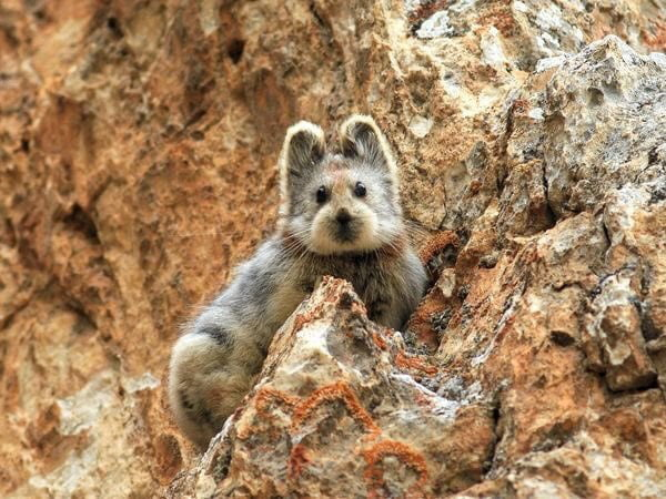 Chinas endangered Magic rabbit photographed for the first time in 22 years.
