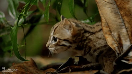 Video: Rusty-spotted cat is the world's smallest cat