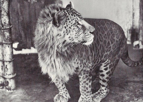 Meet the Leopon, the hybrid offspring of a male Leopard and a Lioness. 1