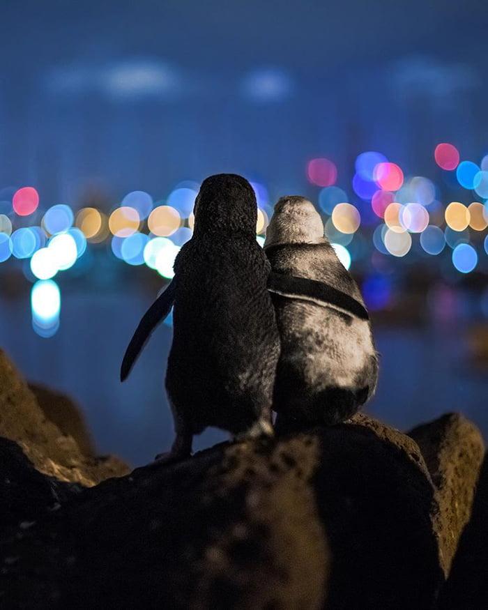 Uhvaćena su dva pingvina kako zajedno uživaju u pogledu na nebo u  Melbourneu