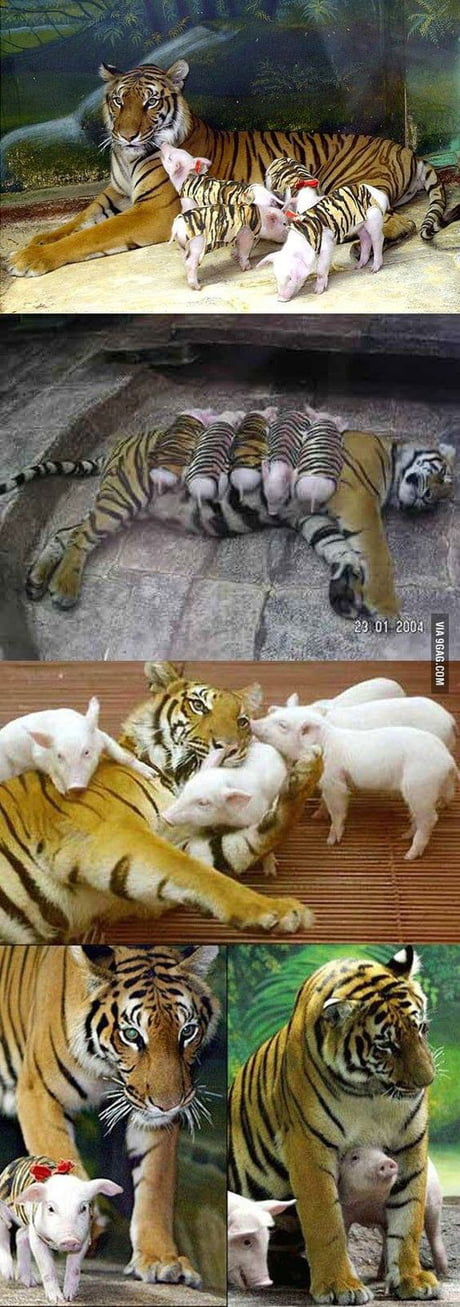 A mother tiger lost her cubs due to premature labour. She became depressed and her health declined. Zoologists wrapped piglets up in tiger-print cloth, and presented them to the mother tiger. The tiger now loves these pigs & treats them like her babies. This is so sweet.