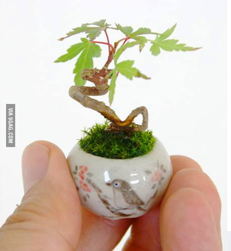 Look at this tiny Maple Bonsai... look at it!