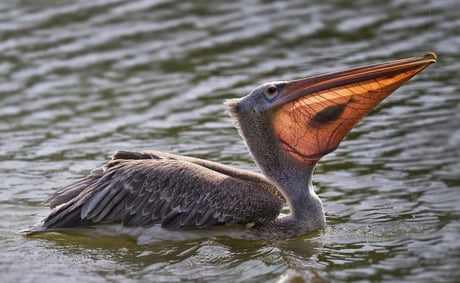 The sun hits the pelican's beak at just the right moment