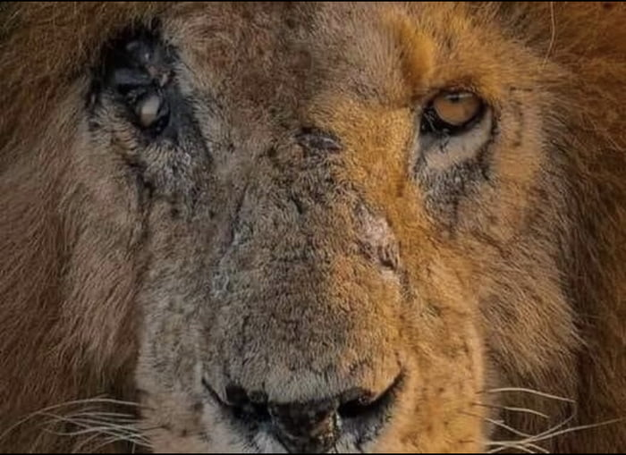 """The oldest lion called Scarface passed away on Saturday at 1 pm Kenya time after having a victorious life as a king. Scar defended his land against hundreds of lions and killed more than 400 hyenas. Lost his eye in famous lions battle called """"pride of the pride"""". RIP Scarface."""