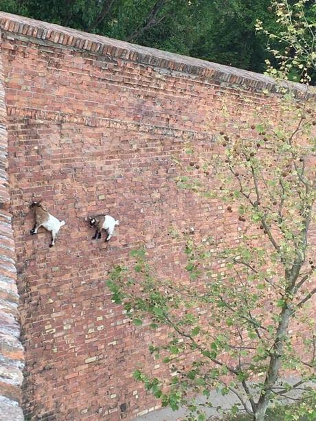 Goats climbing a brick wall