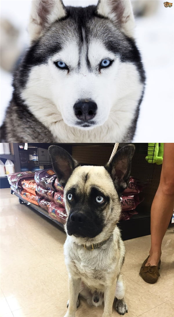 Why you should not crossbreed Pug with the others
