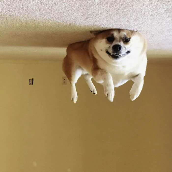My dog consumed too much helium and is now stuck to the ceiling.